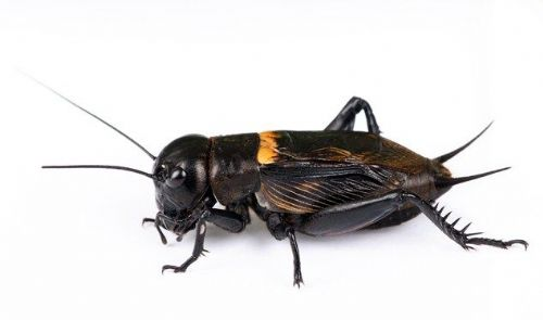 Black Crickets
